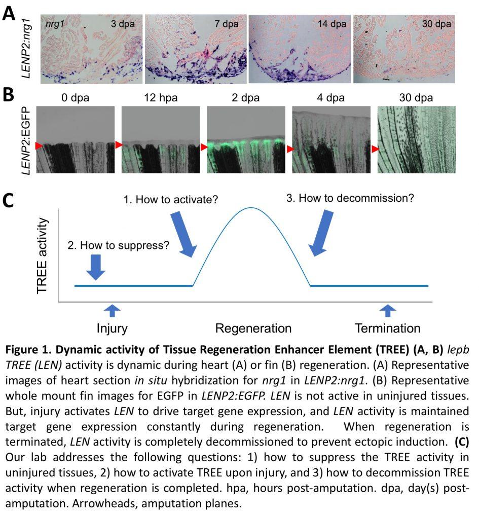 Tissue regeneration enhancer element
